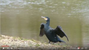 The Setley Pond Cormorant