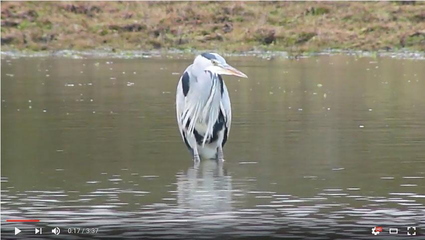 SRCMBC Setley Pond Heron