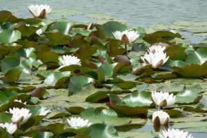 Water lilies (June 2006)