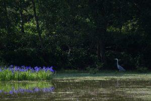 Iris and heron (June 2007)