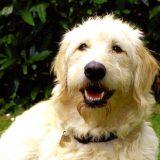 Guide dog Ava