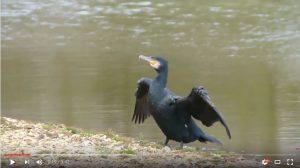 The Setley Pond Cormorant